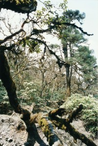 Ghandruk Trek trekking hike hiking nepal Rhododendron trees
