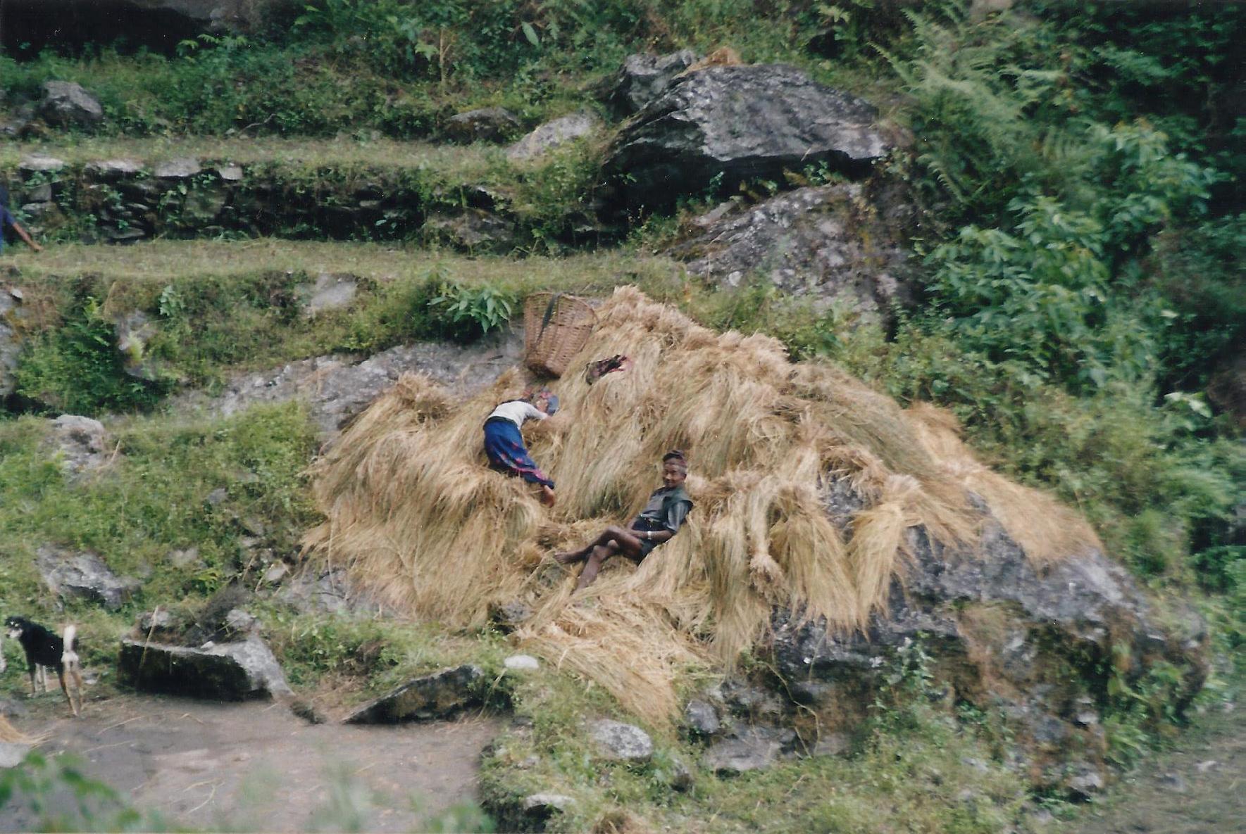 Bed Straw Rara Lake Trek Trekking Hike Hiking Nepal