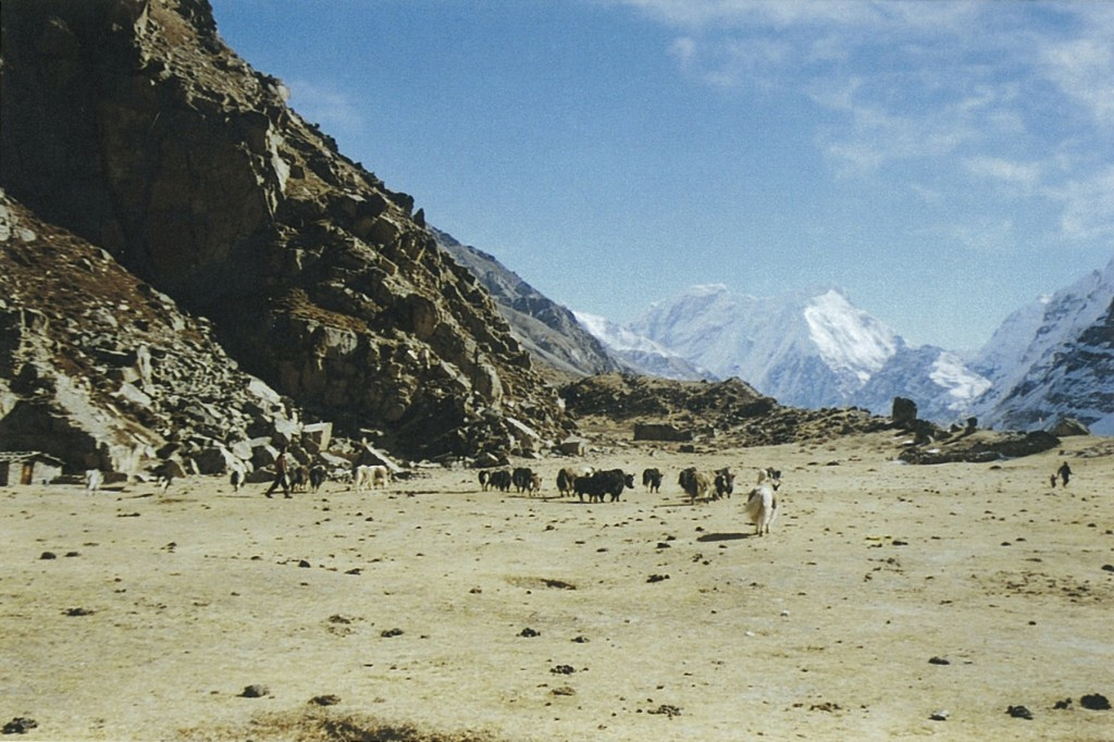 Yaks Kambachen Kanchenjunga Base Camp Trek Nepal Trekking Hike Hiking Himalayas