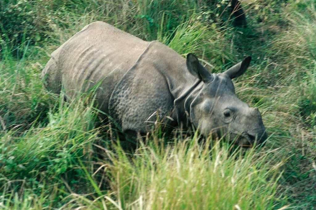 Rhino Rhinoceros Chitwan Park Nepal Safari Jungle Forest Fauna