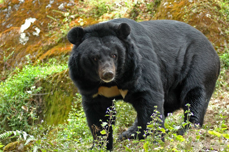 Himalayan Black Bear Nepal Safari Jungle Fauna