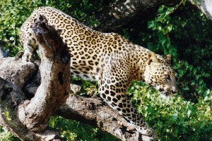 Leopard Nepal safari jungle Bardiya Bardia National Park