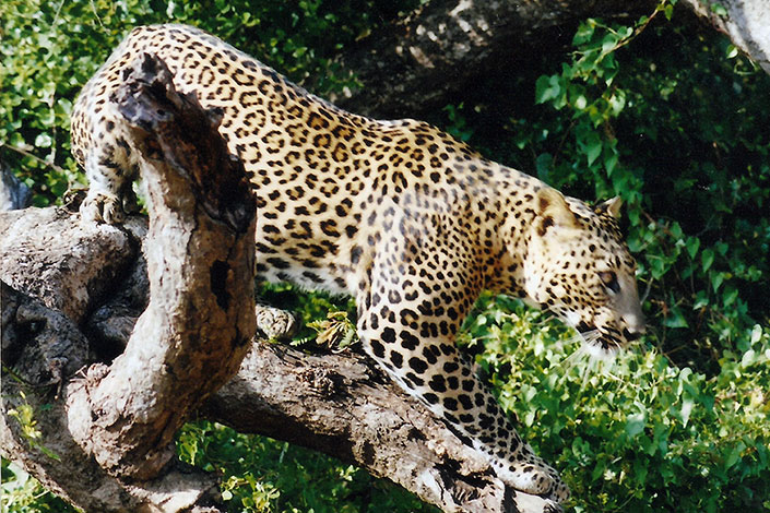 Leopard Nepal safari jungle Bardiya Bardia National Park