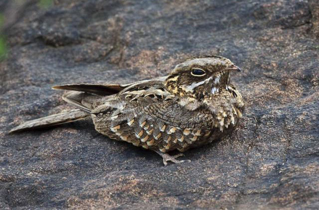 Indian Nightjar Koshi Tappu Wildlife Reserve Nepal National Park Safari Jungle Forest Swamp Fauna Lakes Birds