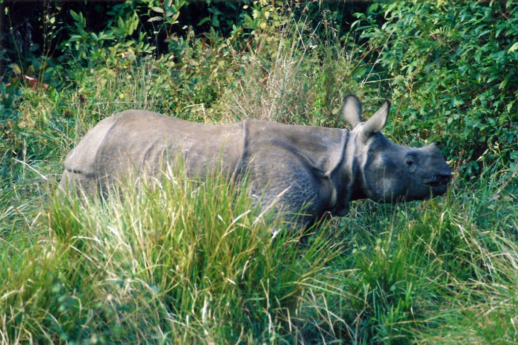 Rhinoceros Nepal Chitwan Park Jungle Safari