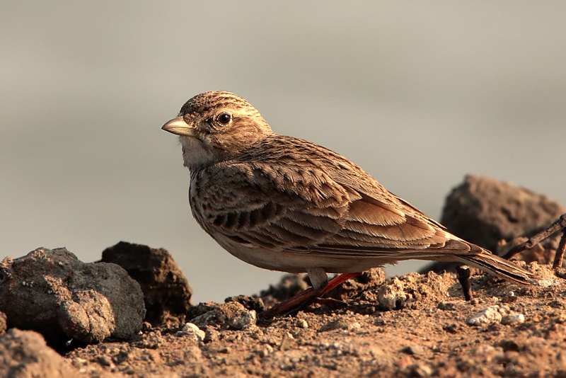 Sand Lark Koshi Tappu Wildlife Reserve Nepal National Park Safari Jungle Forest Swamp Fauna Lakes Birds