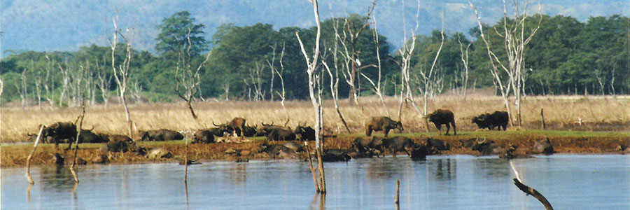 Nepal jungle safari Bardiya Bardia National Park cattle