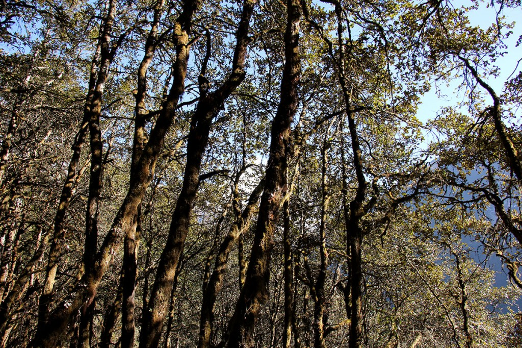 Woodland Trees Rara Lake Trek Trekking Hike Hiking Nepal