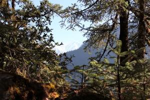 Pine Trees Annapurna Base Camp Trek ABC Sanctuary Trekking Hike Hiking Nepal