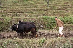 Ghorepani Poon Hill Trek trekking hike hiking nepal oxen plough