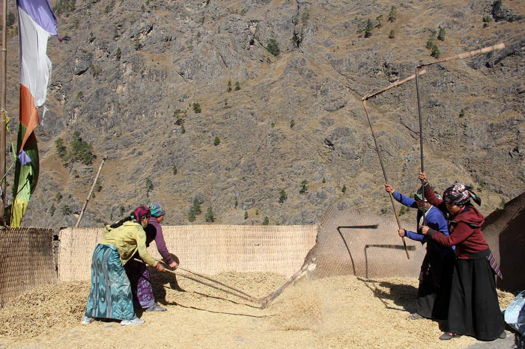 Threshing Corn Lokpa Tsum Valley Trek Trekking Hike Hiking Nepal