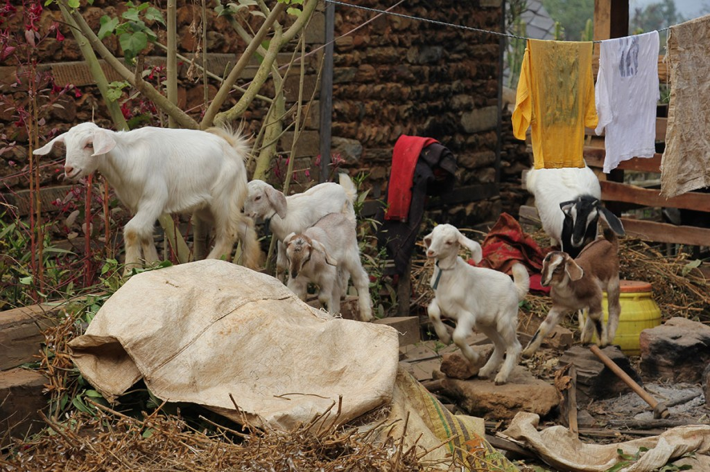 goats Trekking trek hiking hike Kathmandu Valley Ridge Nepal