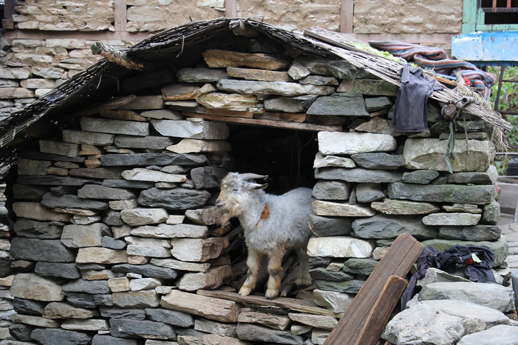 Goat Everest Base Camp Trek EBC Trekking Hike Hiking Nepal