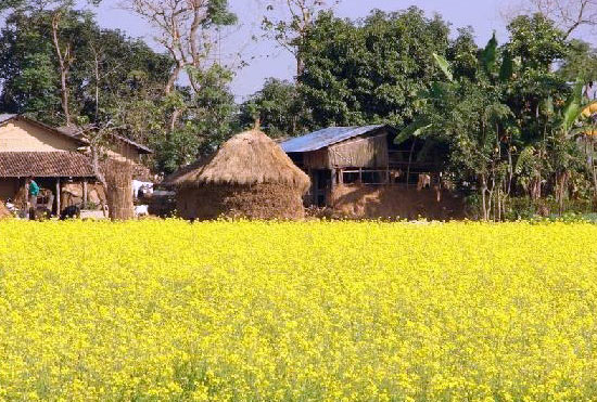Mustard Fields Chitwan Park Nepal Safari Jungle Forest Flora