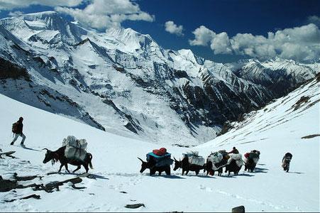 Yak Caravan Baga La Lower Dolpo Trek Nepal Trekking Hike Hiking Himalayas