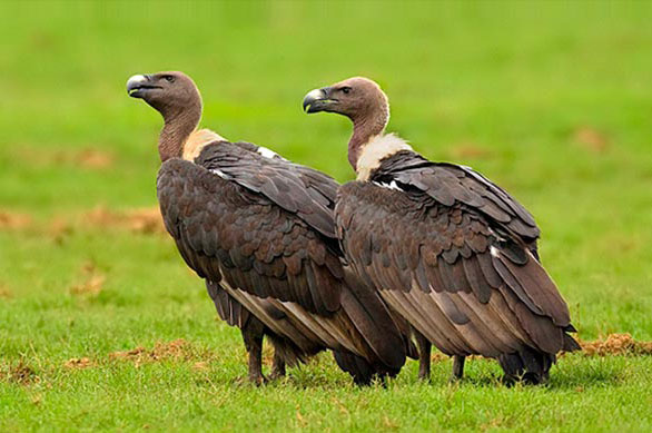 White-rumped Vultures Bardiya Bardia National Park Nepal Safari Ghodaghodi Tal Jungle Forest Fauna Birds