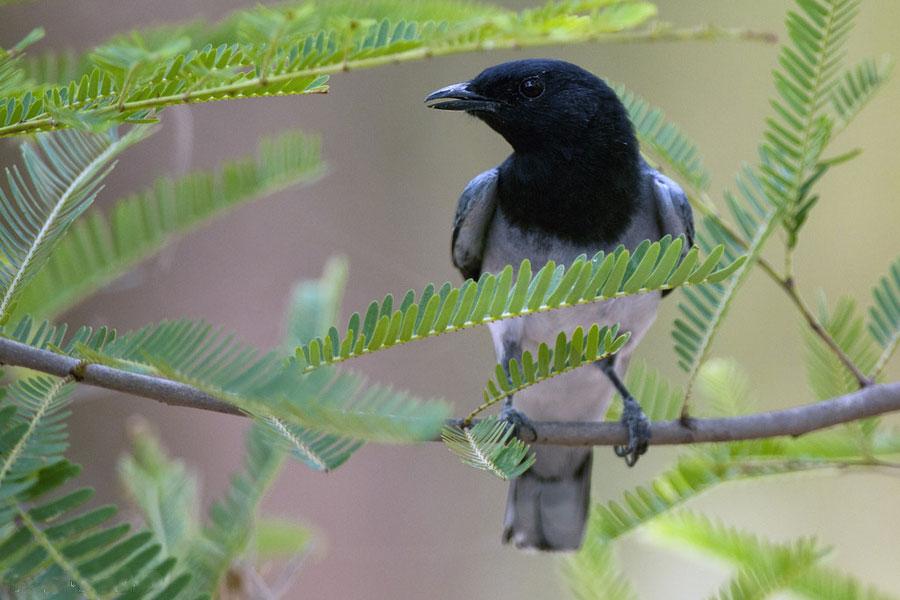 Black-headed Cuckooshrike Koshi Tappu Wildlife Reserve Nepal National Park Safari Jungle Forest Swamp Fauna Lakes Birds
