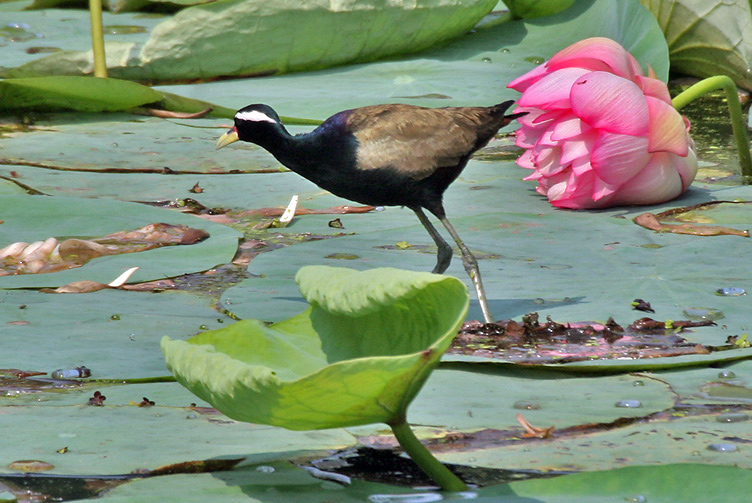 Bronze-winged Jacana Koshi Tappu Wildlife Reserve Nepal National Park Safari Jungle Forest Swamp Fauna Lakes Birds