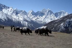 Yaks Dingboche 3 Three Passes Trek Everest Base Camp EBC Trek Nepal Trekking Hike Hiking Himalayas