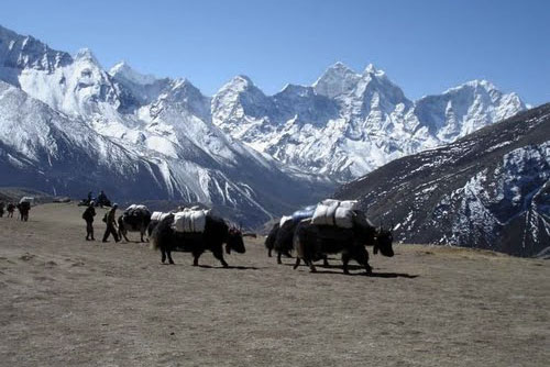 Yaks Dingboche 3 Three Passes Trek Everest Base Camp EBC Trek Nepal Trekking Hike Hiking Khumbu Valley Himalayas