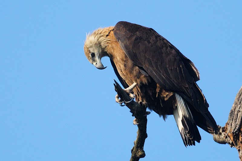 Pallas's Fish Eagle Koshi Tappu Wildlife Reserve Nepal National Park Safari Jungle Forest Swamp Fauna Lakes Birds