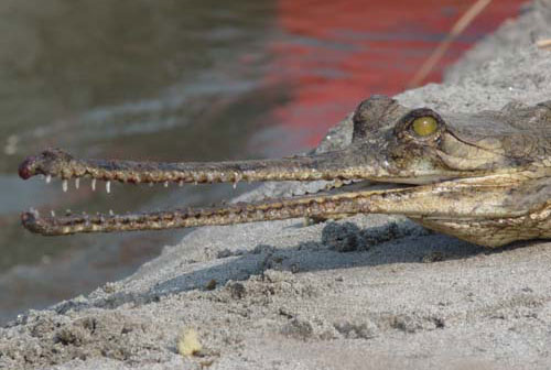 Gharial Bardiya Bardia National Park Nepal Safari Ghodaghodi Tal Lake Jungle Forest Fauna Crocodiles Reptiles