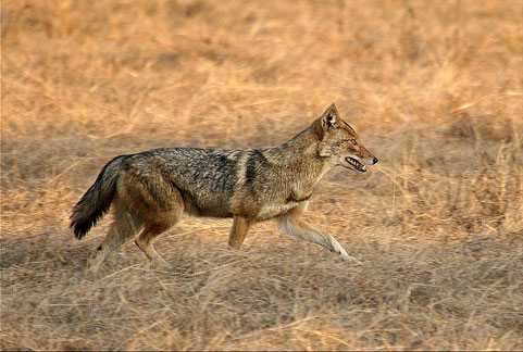 Asiatic Golden Jackal Nepal Safari Jungle Fauna