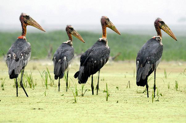 Greater Adjutant Storks Koshi Tappu Wildlife Reserve Nepal National Park Safari Jungle Forest Swamp Fauna Lakes Birds