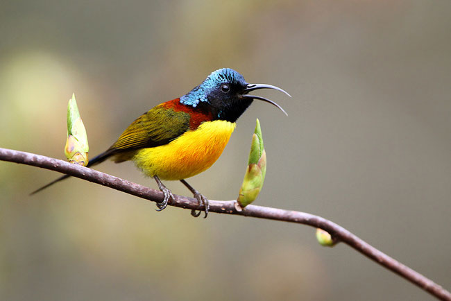 Green-tailed Sunbird Nepal Safari Jungle Fauna Birds