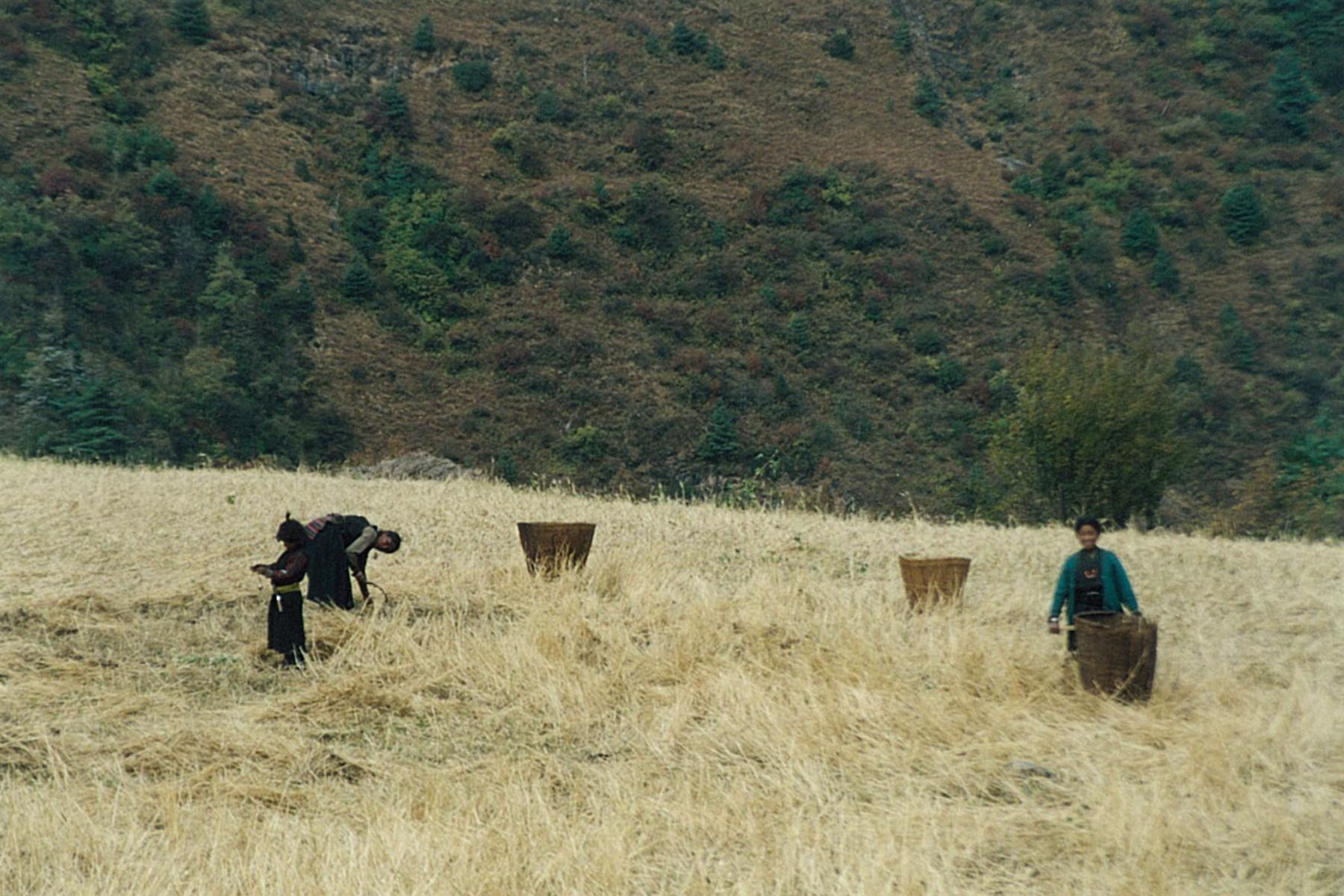 Harvest Manaslu Circuit Trek Nepal Tibetan Chuba Trekking Hike Hiking Himalayas
