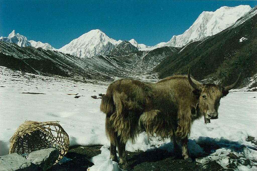 Yak Bimtang Manaslu Circuit Trek Nepal Trekking Hike Hiking Himalayas