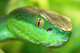 Northern White-lipped Pit Viper Nepal Safari Jungle Fauna Snakes