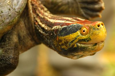 Red-crowned Roofed Turtle Ghodaghodi Tal Lake Bardiya Bardia National Park Nepal Safari Jungle Forest Fauna Reptiles