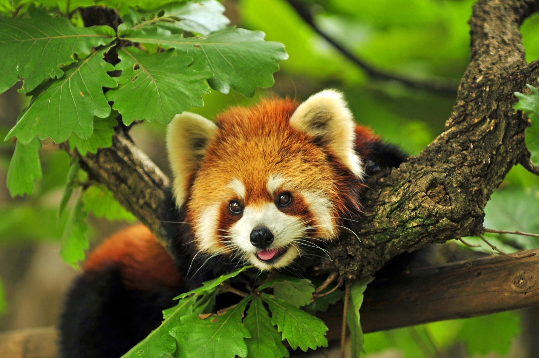 Red Panda Nepal Safari Jungle Fauna