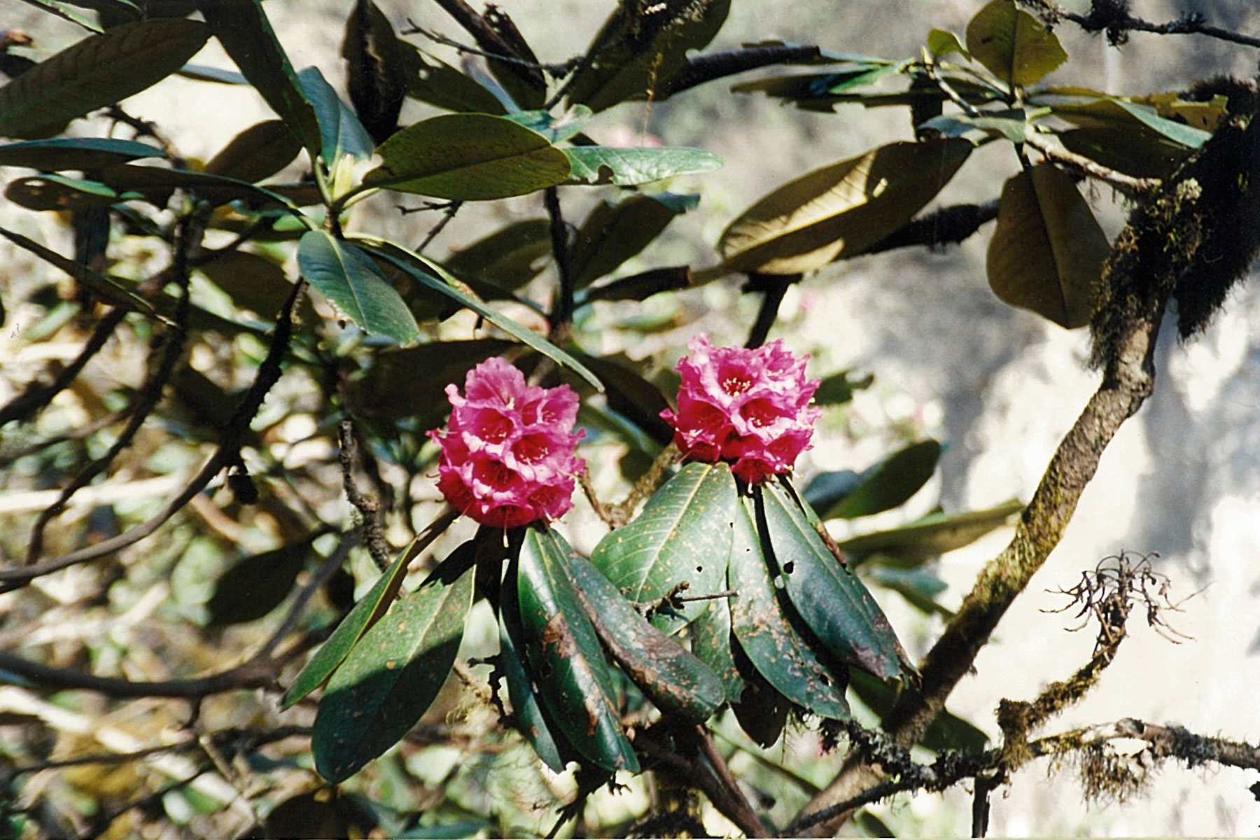 Rhododendron Bloom 3 Three Passes Trek Everest Base Camp EBC Trek Nepal Trekking Hike Hiking Khumbu Valley Himalayas