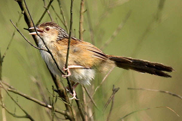 Rufous-rumped Grassbird Chitwan Park Nepal Safari Jungle Forest Birds Fauna