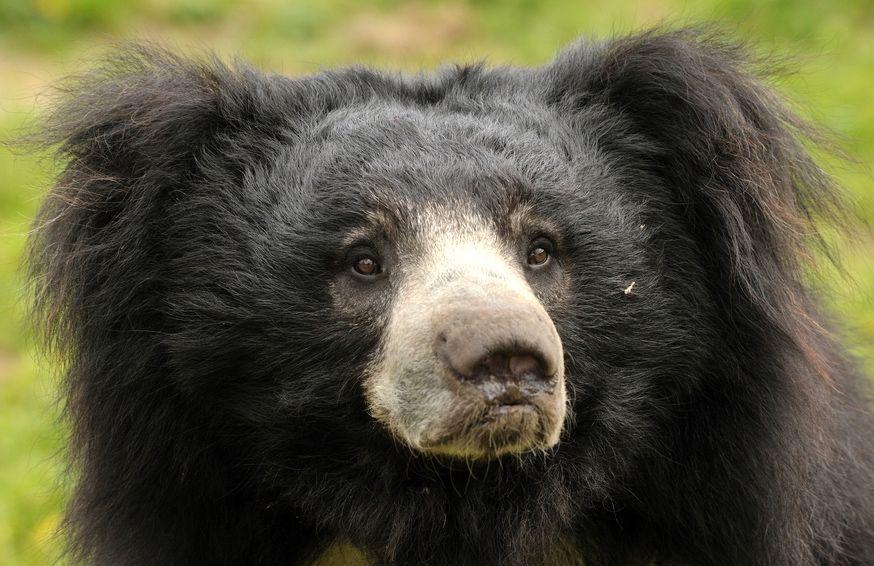 Sloth Bear Chitwan Park Nepal Safari Jungle Forest Fauna