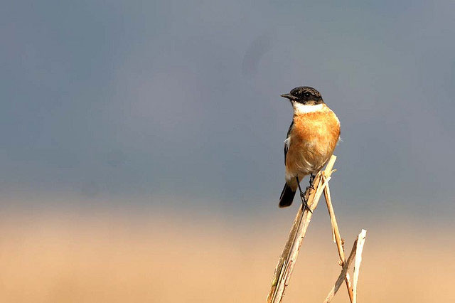 Hodgson's Bushchat White-throated Nepal